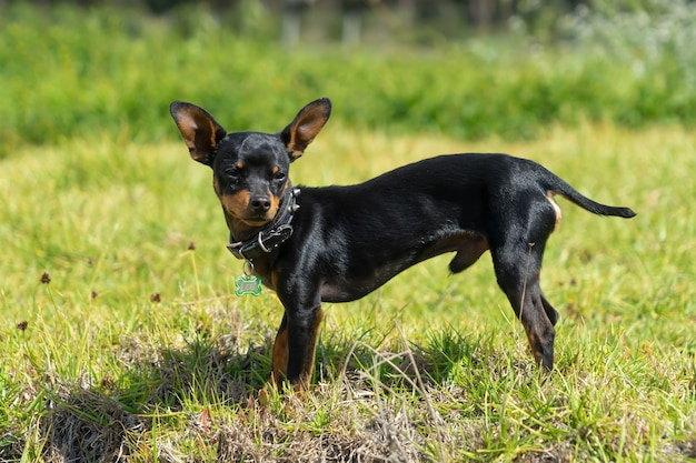 A young black chihuahua standing in the grass.