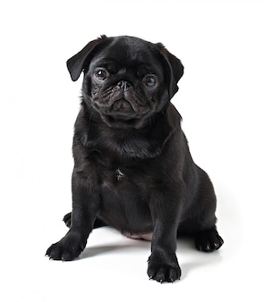 Young black dog pug posing on white