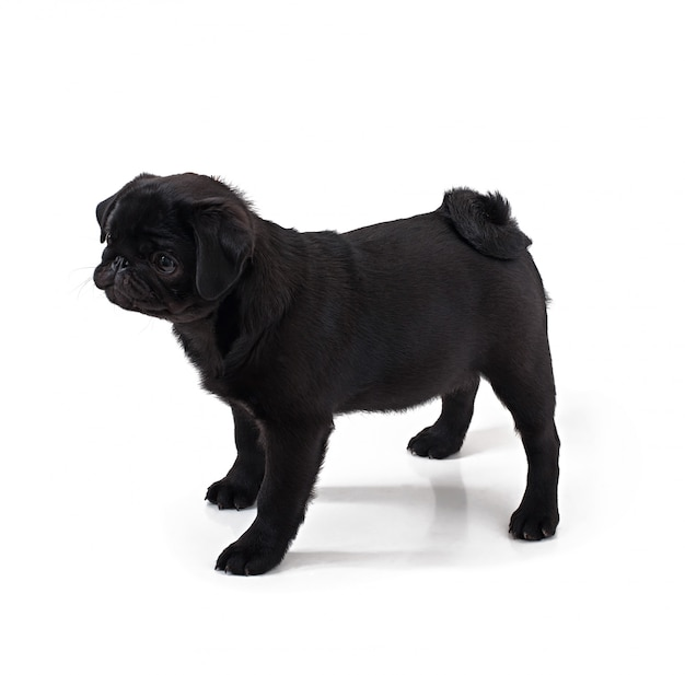 Young black dog pug posing on white