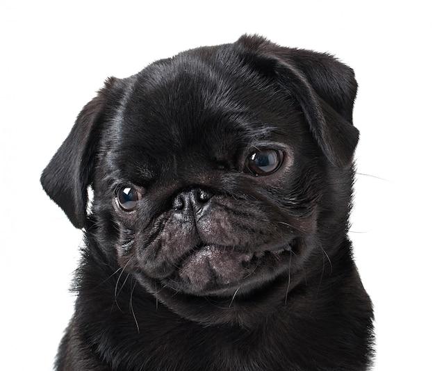 Young black dog pug posing