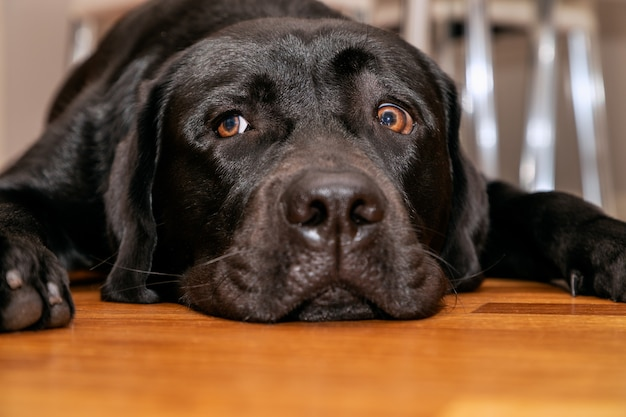 Young black labrador retriever resting on the wooden floor (front facing portrait)