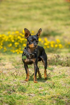 A young black and white chihuahua standing on the grass