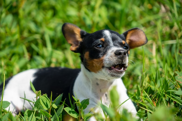 A young black and white chihuahua witting on the grass