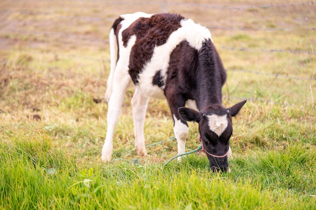 A young black and white cow eating grass