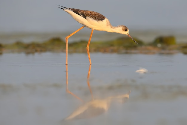 Young black-winged stilt feeds on the shallow water of the estuary in the rays of the rising sun