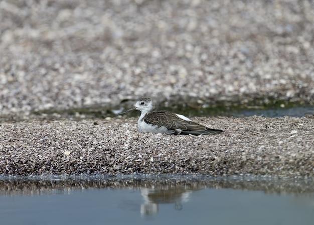 河口の砂の上に横たわっている若いセイタカシギ