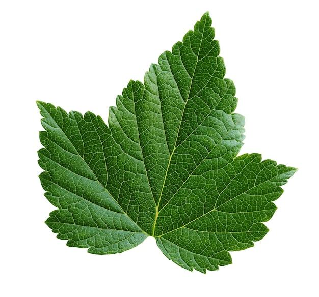 白い壁に分離された若いブラックカラントの葉。