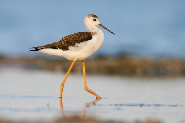 부드러운 아침 햇살에 물 위를 걷는 젊은 blackwinged 수상