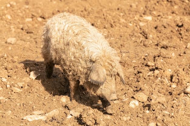 Молодая блондинка шерстистая свинья в грязи