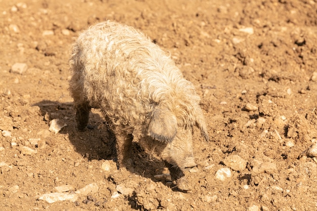 Young blond woolly pig in mud