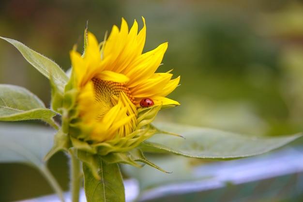 若い咲く明るいひまわりの花のクローズアップとてんとう虫