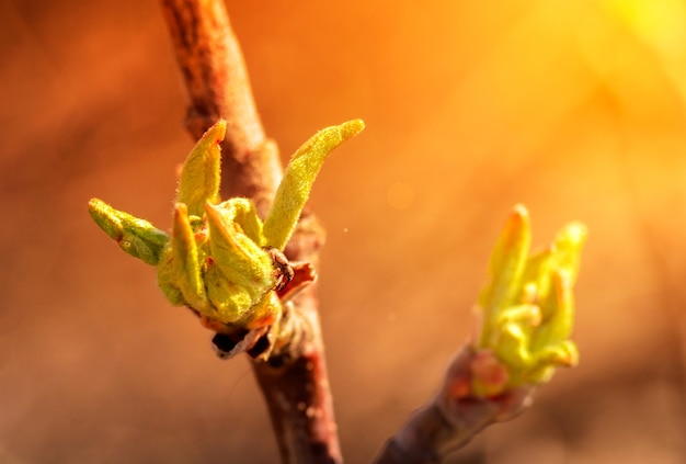 Young blossoming leaves on a branch of an apple tree in the sun. spring flowering trees. blooming garden