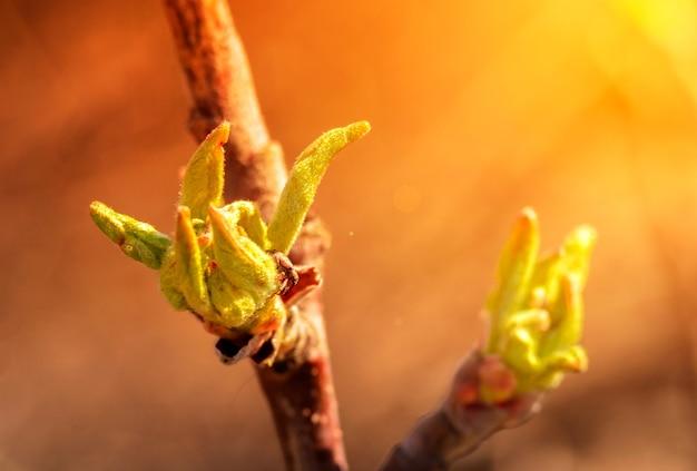 太陽の下でリンゴの木の枝に若い花が咲きます。春の開花木。咲く庭