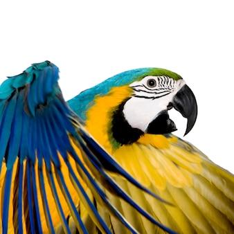 若い青と黄色のコンゴウインコ-分離されたara ararauna(8ヶ月)