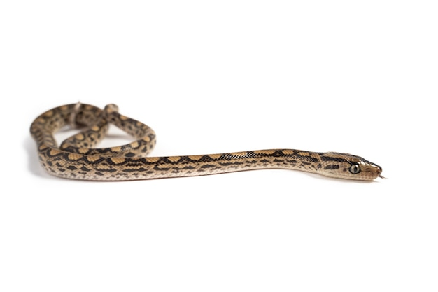 Young boa constrictor isolated on white surface