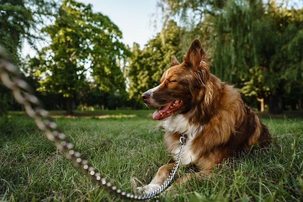 Young border collie dog on a leash in park, close up