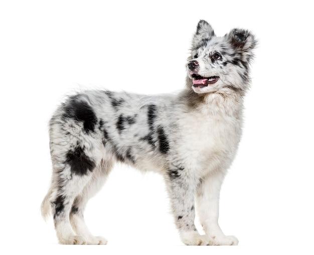 白い表面を見上げる若いボーダーコリー犬