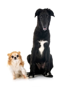 Young borzoi and chihuahua  in front of white background