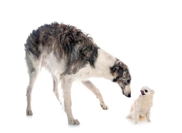 Young borzoi and chihuahua