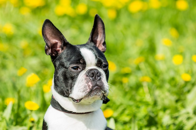 A young boston terrier dog on a background of green grass