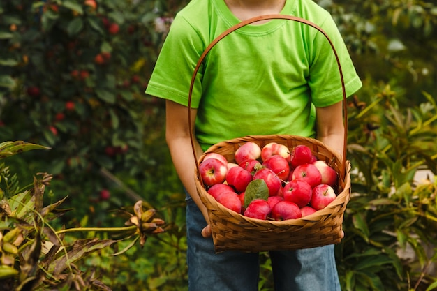 Young boy holding a basket with fresh organic juicy red apples