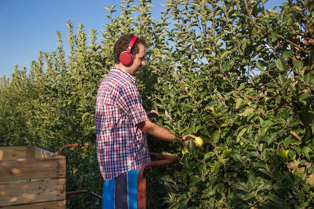 Мальчик в клетчатой рубашке слушает музыку в наушниках, собирая яблоки с плантации