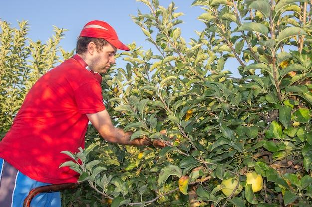 Молодой мальчик в красной рубашке и кепке собирает яблоки, слушая музыку в красных наушниках