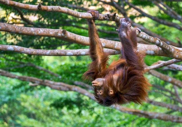 Young boy orangutan is mischievous on tree.