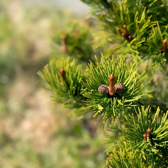 Young branch of a mountain pine with young immature cones resembling a mans penis in shape