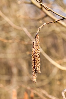 거는 귀걸이와 자작 나무 나무의 젊은 지점, 숲에서 봄 근접