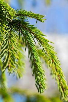 스프루스 녹색 색상의 어린 가지. 필드의 작은 깊이와 사진 근접 촬영입니다. 봄 기간. 백그라운드에서 푸른 하늘