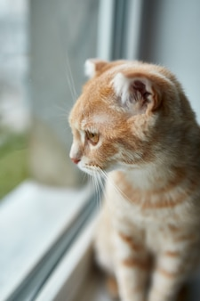 Молодой британский короткошерстный полосатый рыжий кот сидит на подоконнике и смотрит в окно дома, домашнее животное