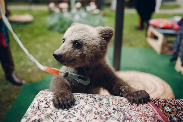Молодой портрет новичка бурого медведя