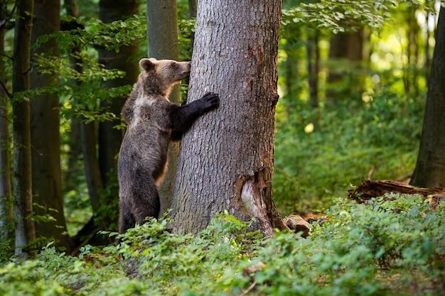Молодой бурый медведь хватая дерево в лесу весной