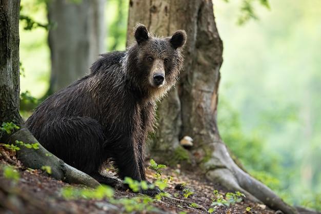 Молодой бурый медведь сидит у дерева в летнем лесу.