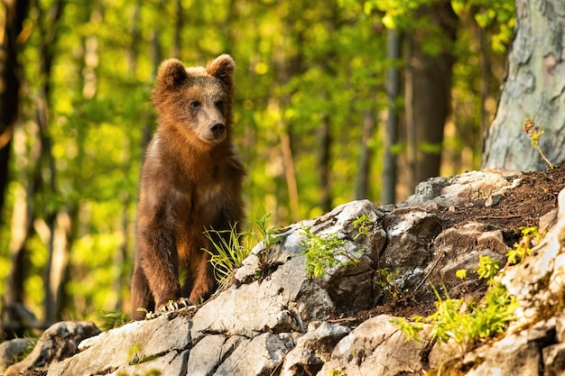 Young brown bear standing in forest with sunlight.