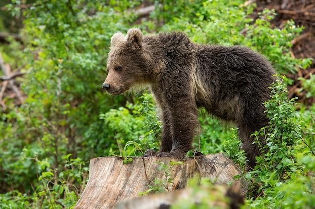 Молодой бурый медведь стоит на пне в летней природе