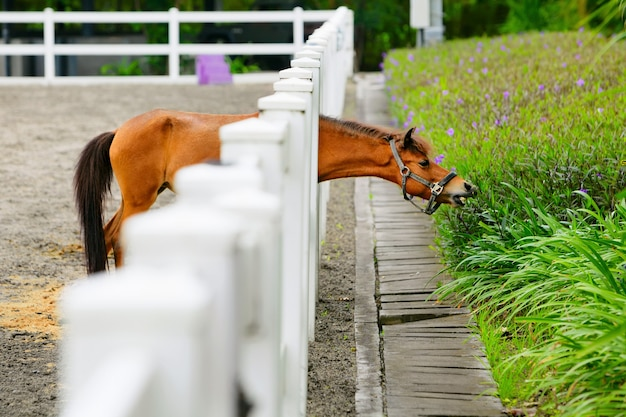 Young brown color horse have fun, reaching through fence for eating flowers from green flowerbed.