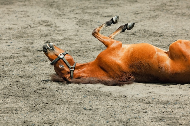 Young brown color horse have fun, rolling on sand field, lying upside down in dust.