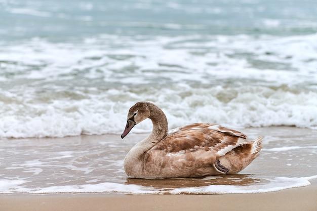 발트 해의 푸른 바닷물에 의해 모래에 앉아 젊은 갈색 색깔의 하얀 백조. 갈색 깃털을 가진 휴식 백조 병아리의 고해상도 이미지를 닫습니다