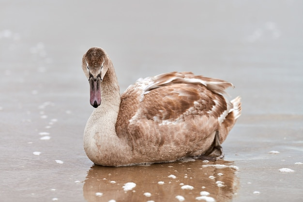 バルト海の青い海のそばの砂の上に座っている若い茶色の白い白鳥