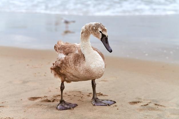 발트 해의 푸른 바다를 지나가는 젊은 갈색 색깔의 하얀 백조. 갈색 깃털을 가진 백조 병아리의 고해상도 이미지를 닫습니다