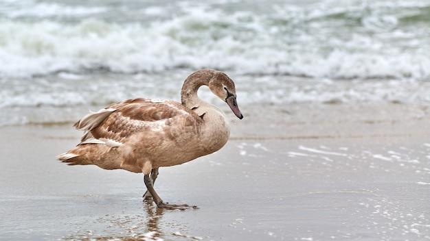バルト海の青い海を歩く若い茶色の白い白鳥