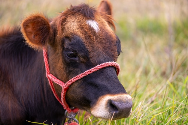 A young brown cow sitting on the grass