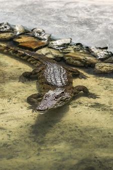Молодой коричневый крокодил в воде