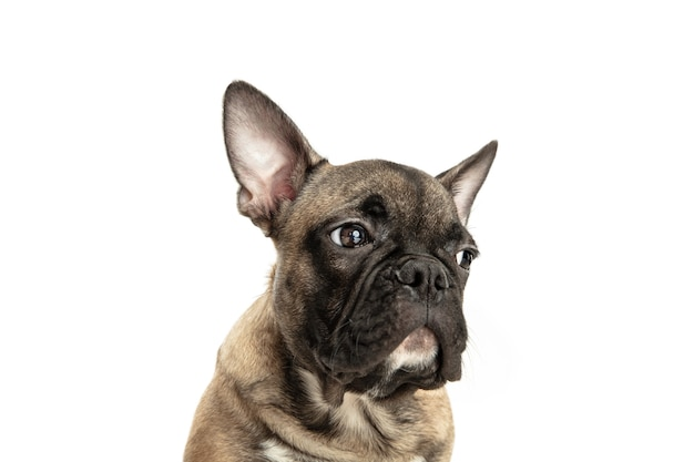 Young brown french bulldog playing isolated on white studio wall