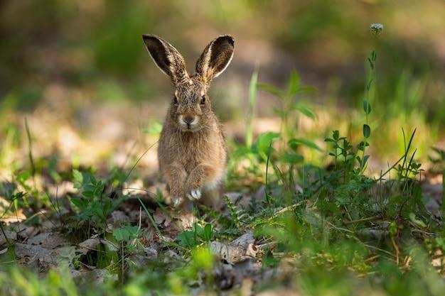 Молодой заяц-русак прыгает ближе на траве в весенней природе.