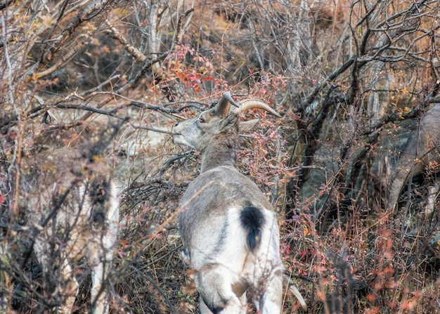 Young brown mountain goat with horns eating leaves in wild