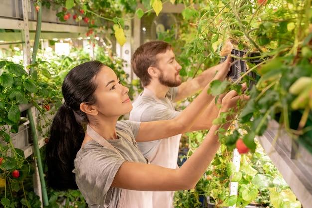 그들을 돌보는 동안 젊은 갈색 머리 여성 농부 또는 온실 성장 식물 상자를 복용 노동자
