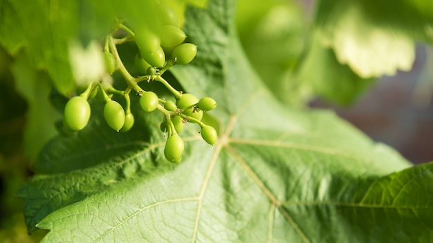 Young bud on the vine green early ovary grapes